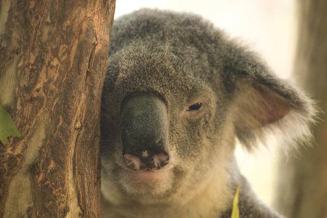 Koalas XVIII