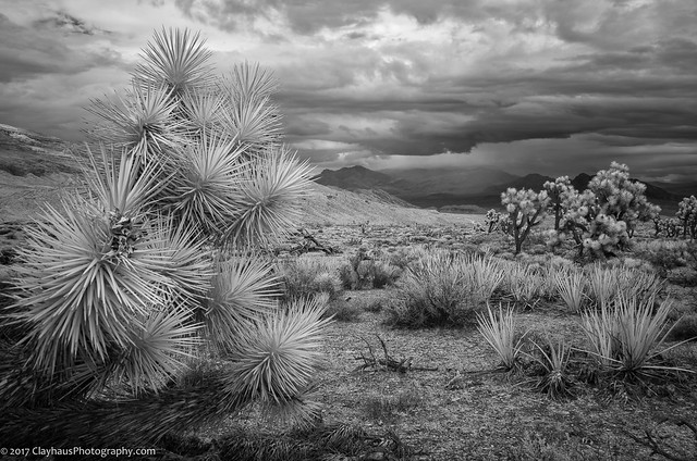Joshua Trees and Yucca along the Gold Butte Road