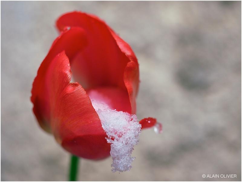 Tulipe du 1er mai 8824048552_d19ae01668_c