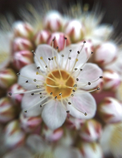 Flower in Chicago's Albany Park neighborhood. Image made with an iPhone and olloclip macro lens. Credit: Bill Guerriero