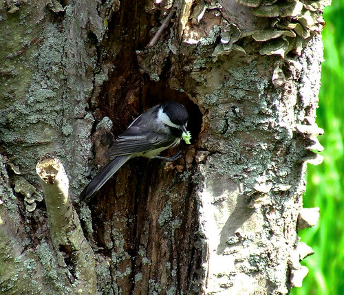 chickadee at nest hole with caterpillar