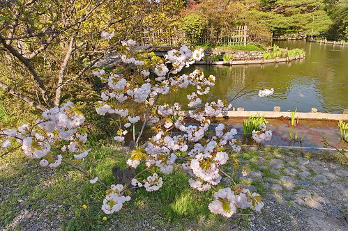 【写真】2013 桜 : 梅宮大社/2019-06-14/IMGP0191