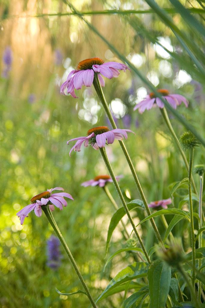 Echinacea july 12 v2