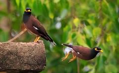 nightingale(0.0), robin(0.0), blackbird(0.0), wildlife(0.0), animal(1.0), nature(1.0), fauna(1.0), finch(1.0), common myna(1.0), beak(1.0), bird(1.0),