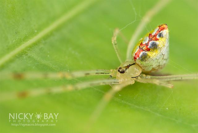 Mirror Spider (Thwaitesia sp.) - DSC_9978