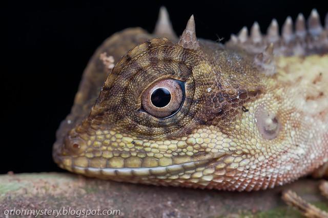 IMG_9685 copy Acanthosaura cf. crucigera lizard