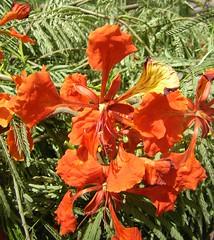 Red acacia