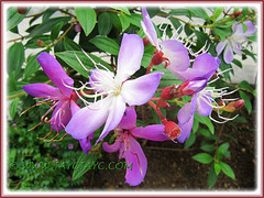 Tibouchina mutabilis, a purplish-pink cultivar, Sept 1 2013