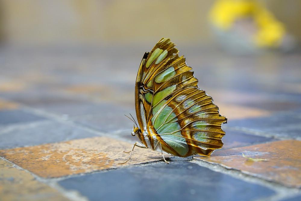 美洲蛺蝶 Siproeta stelenes-3