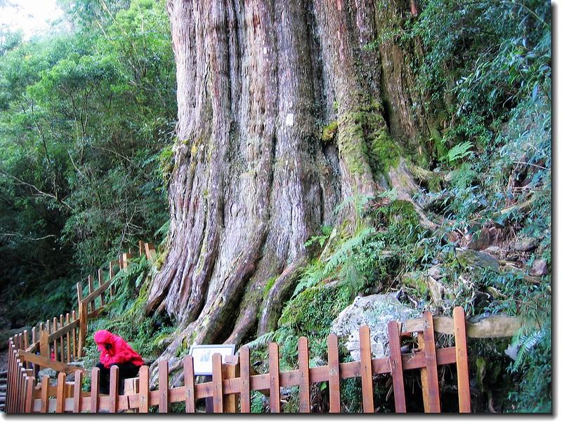 紅檜神木(elev. 2471 m, 攝於2005.10.16) 3