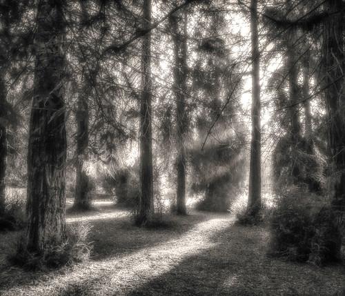 california unitedstates grove redwood brea sequoiasempervirens
