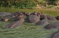 Hippos enjoying the water