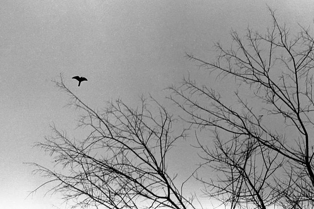 Sharp-shinned Hawk, 2014