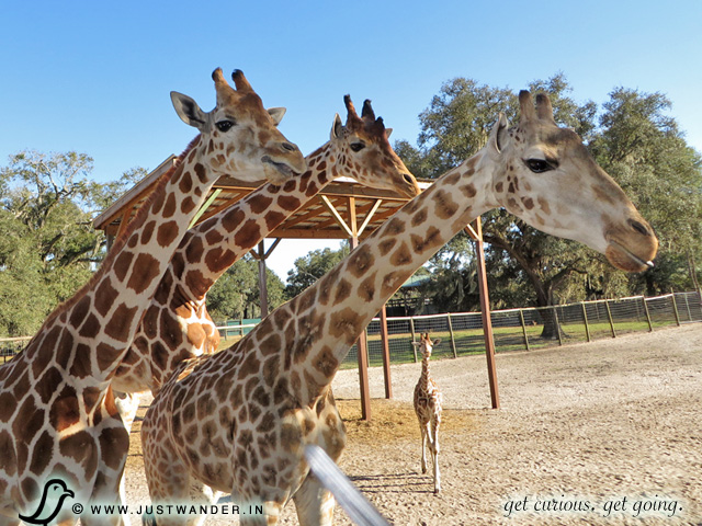 PIC: Baby and Adult Giraffes at Giraffe Ranch