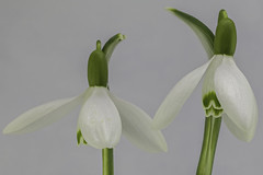 plant(0.0), flower(1.0), galanthus nivalis(1.0), laelia(1.0), flora(1.0), green(1.0), plant stem(1.0),