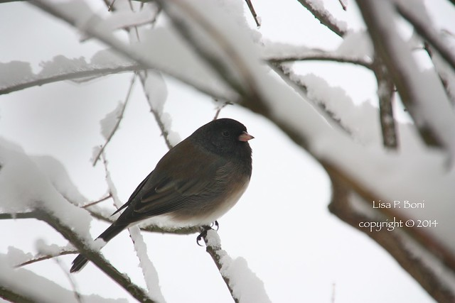 2014.02.01OregonJunco