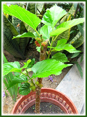 A young rooted cutting of Mulberry (Morus specie), already with fruits, Feb 21 2014