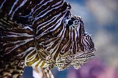 Lion fish DSC6008.jpg