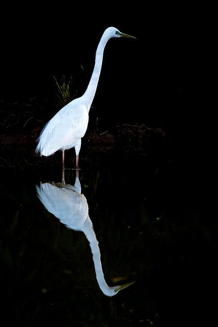 Great Egret - Airone bianco maggiore (Casmerodius albus) 04