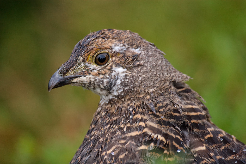 Close-up view of a sooty grouse's head on the Sourdough Ridge Trail in Mount Rainier National Park