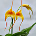 masdevallia yellow by AfricanViolet.co.uk