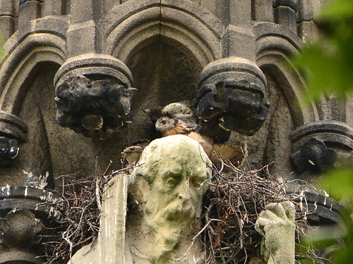 Cathedral Hawk Nestlings (0771)
