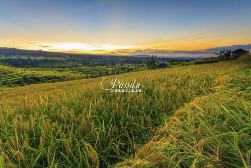 bali field sunrise indonesia landscape photography tour rice guide blackcard jatiluwih tabanan baliphotography balitravelphotography baliphotographytour baliphotographyguide