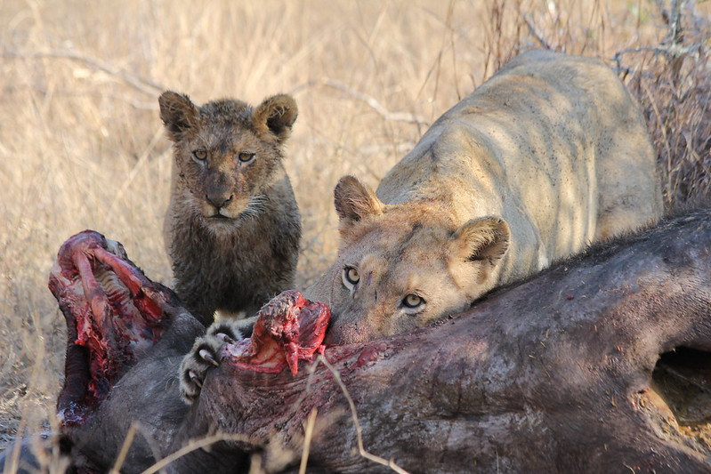 Lions on a buffalo kill