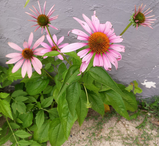 five purple coneflowers growing against a retaining wall