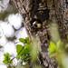 Melanerpes formicivorus (Acorn Woodpecker)