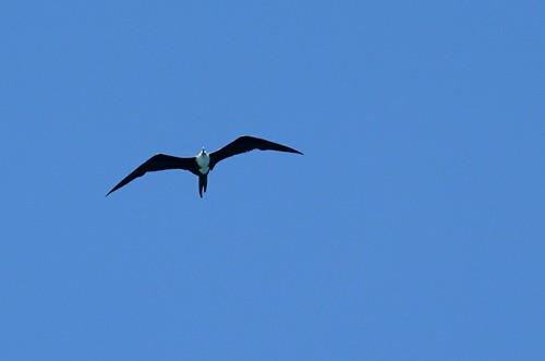 Magnificant Frigatebird, Loreto, Mexico