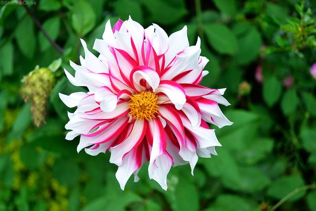 PinkWhiteFlower1