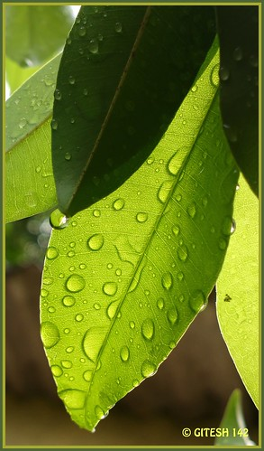 cameraphone light greenleaves india macro green leaves rain june closeup garden leaf flickr gallery photos monsoon raindrops maharashtra thane flickrup mobilecamera 41 megapixel chickoo gitty greenworld chiku sapodilla sapota greatphotographers gitesh greendrops gitz picasa3 मराठीछायाचित्रकार pureview talasari nokia808 vikaspada gitesh142 gitty3