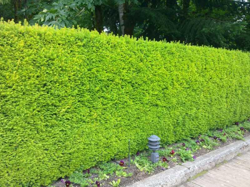 Jardineros en acci n un seto de tejo - Setos para vallas ...