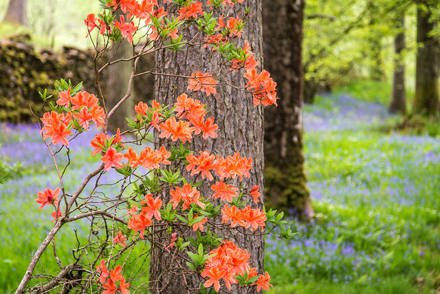 Bluebells and Rhododendrons