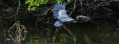 Great Blue Heron - Bog Garden, Greensboro, NC