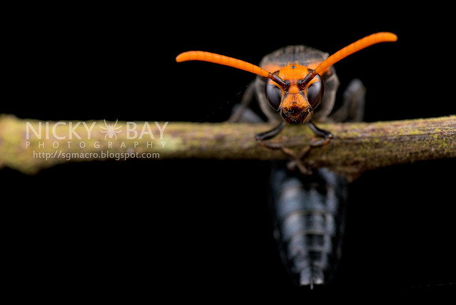 Scoliid Wasp (Scoliidae) - DSC_6678