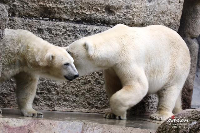 Eisbären Giovanna&Yoghi 2013_07_10 024