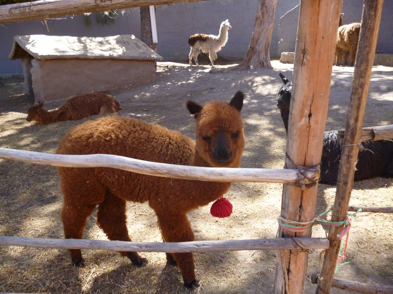 Brown baby alpaca I call Coffee.