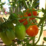 Jelly Bean Tomatoes