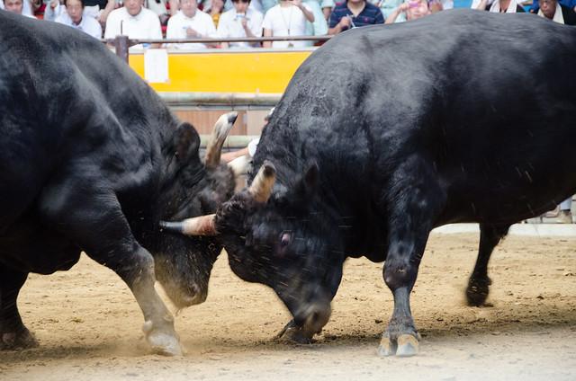 Bullfighting in Uwajima
