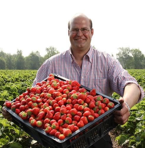 De aardbeien van Anton van Gennip uit Sint-Oederode