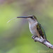 Colibri à gorge rubis / Archilochus colubris / Ruby-throated Hummingbird by RichardDumoulin