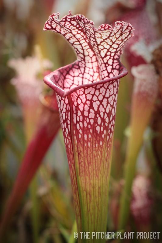 Sarracenia leucophylla - Franklin Co., FL - A x B