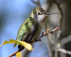 Anna's Hummingbird in Alameda Point neighborhood