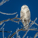 snowy owl by dfbphotos