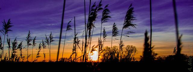 Schilf beim Sonnenuntergang