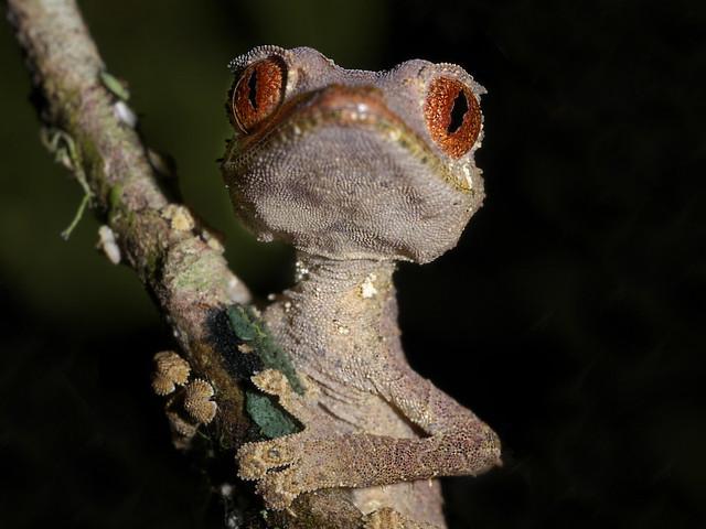 Satanic Leaf Tailed Gecko (Uroplatus phantasticus), Andasibe, Madagascar