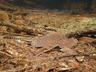 Stock Photo Potamotrygon motoro Ocellate River Stingray Images Picture 282