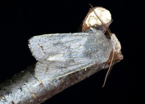 2185 Lead-coloured Drab - Orthosia populeti